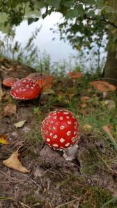Droomvallei paddenstoelen in het bos. Waar blijven de elfjes?